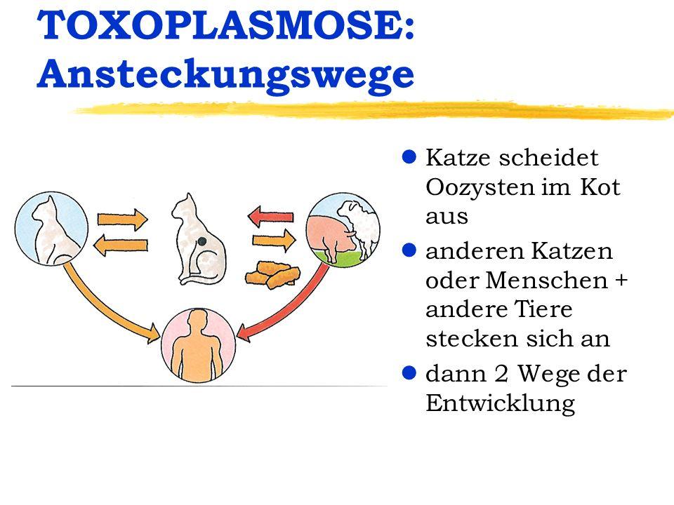 TOXOPLASMOSE: Ansteckungswege lKatze scheidet Oozysten im Kot aus landeren Katzen oder Menschen + andere Tiere stecken sich an ldann 2 Wege der Entwic