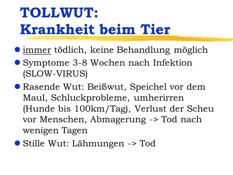 TOLLWUT: Krankheit beim Tier limmer tödlich, keine Behandlung möglich lSymptome 3-8 Wochen nach Infektion (SLOW-VIRUS) lRasende Wut: Beißwut, Speichel