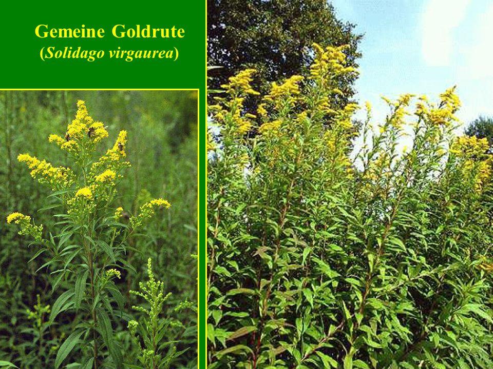 Gemeine Goldrute (Solidago virgaurea)
