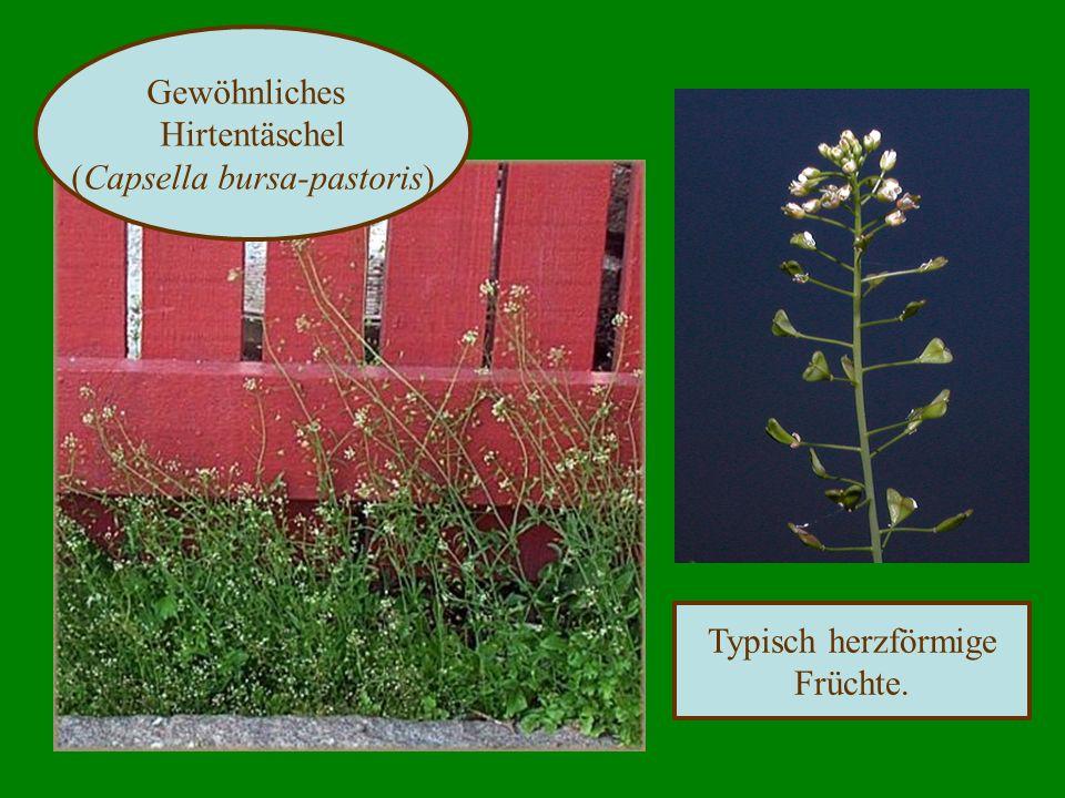 Typisch herzförmige Früchte. Gewöhnliches Hirtentäschel (Capsella bursa-pastoris)