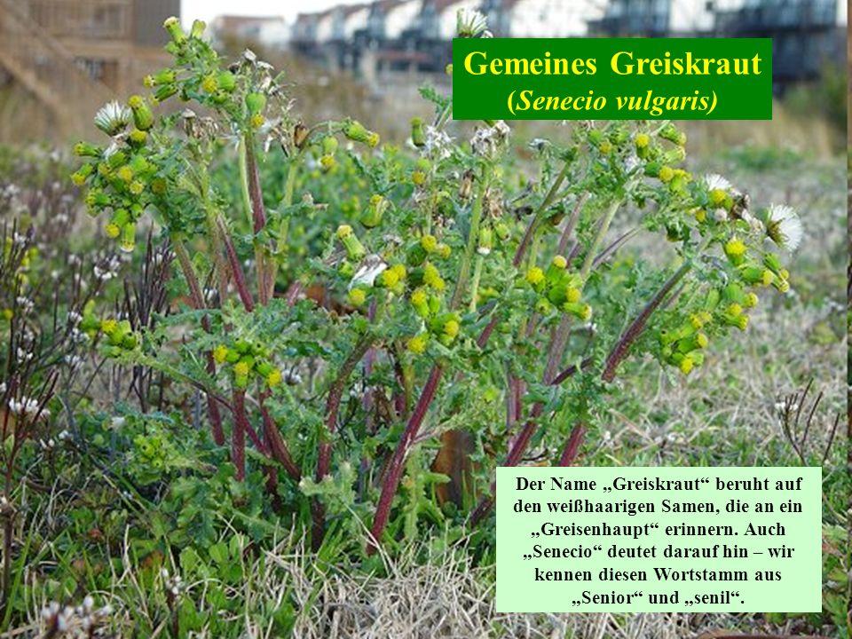 Gemeines Greiskraut (Senecio vulgaris) Der Name Greiskraut beruht auf den weißhaarigen Samen, die an ein Greisenhaupt erinnern. Auch Senecio deutet da