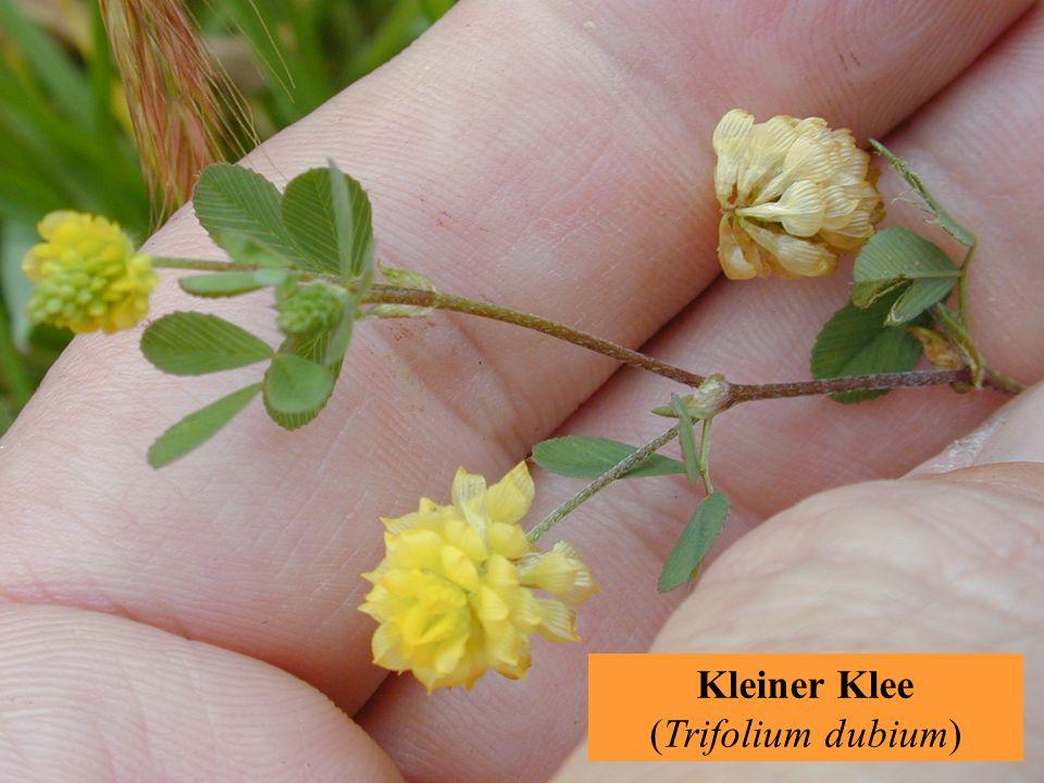 Kleiner Klee (Trifolium dubium)