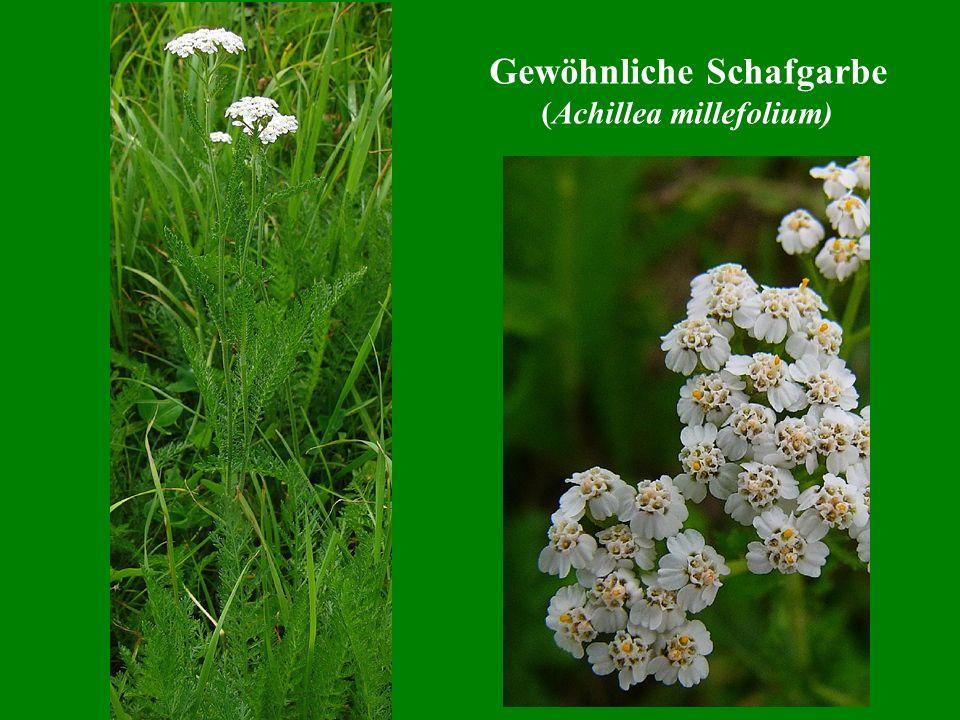 Gewöhnliche Schafgarbe (Achillea millefolium)