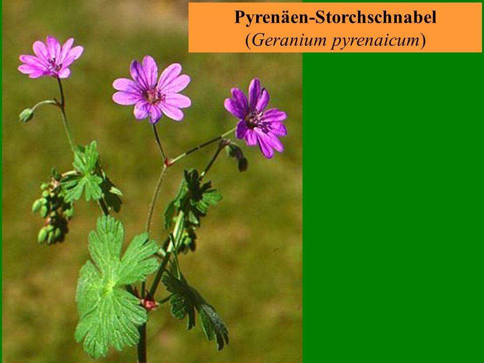 Gewöhnliches Leinkraut (Linaria vulgaris)