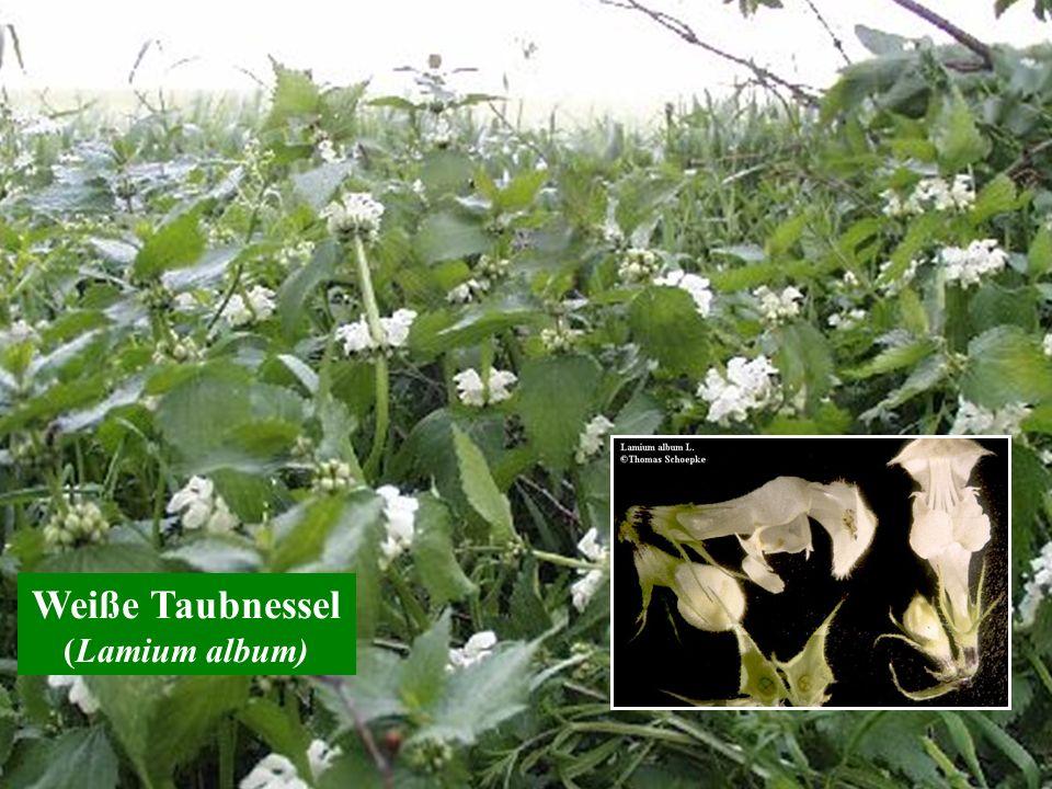 Weiße Taubnessel (Lamium album)