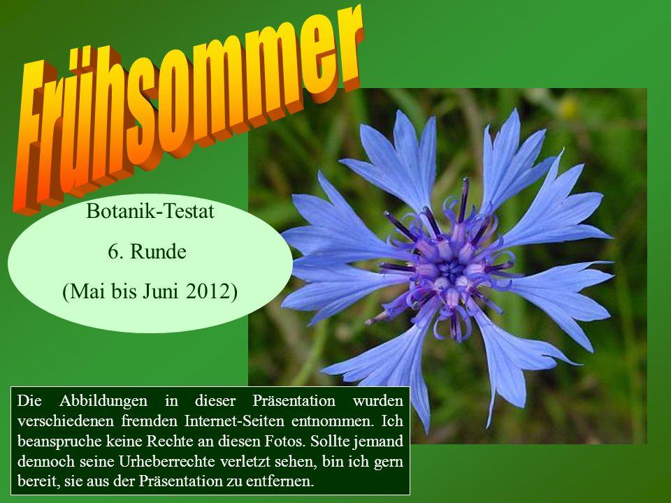 Vergissmeinnicht (Myosotis spec.) Fünf Kronblätter!