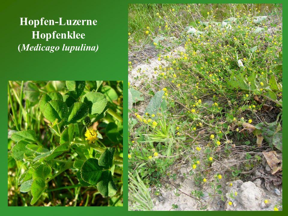 Hopfen-Luzerne Hopfenklee (Medicago lupulina)