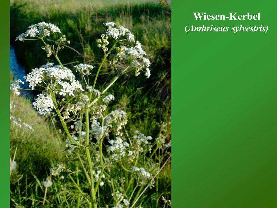 Wiesen-Kerbel (Anthriscus sylvestris)