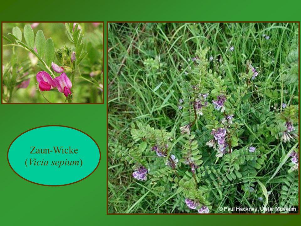 Zaun-Wicke (Vicia sepium)