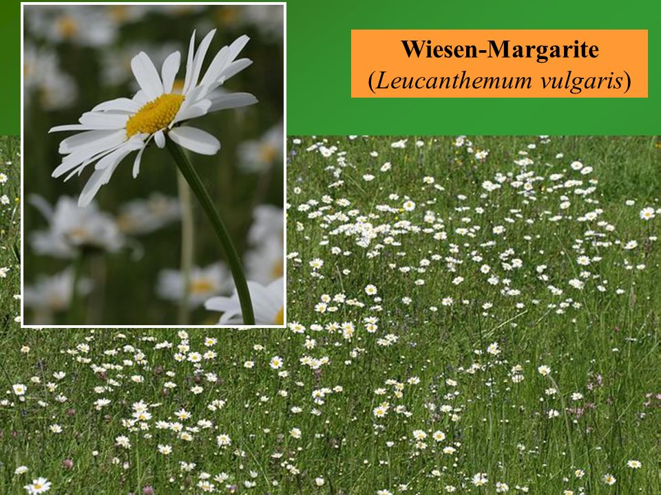Wiesen-Margarite (Leucanthemum vulgaris)