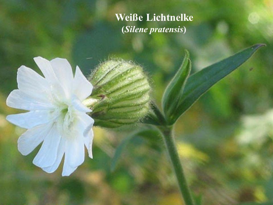 Weiße Lichtnelke (Silene pratensis)
