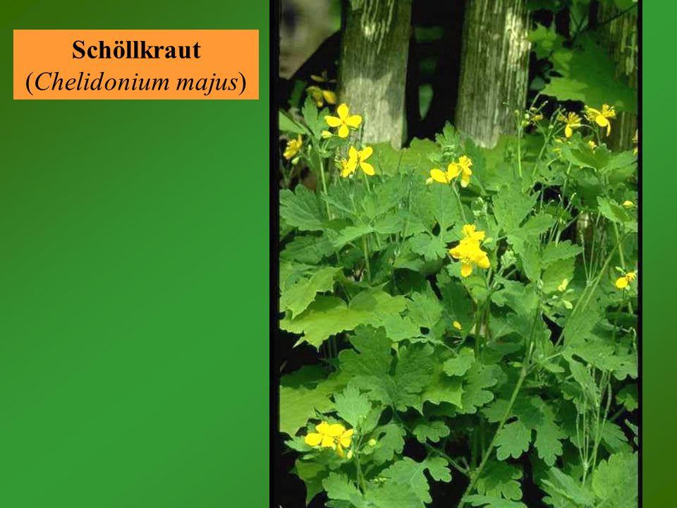 Orientalische Zackenschote (Bunias orientalis) Trotz des exotischen Namens ist dieses Kreuzblütengewächs heute eine sehr häufige Wildpflanze (Unkraut).