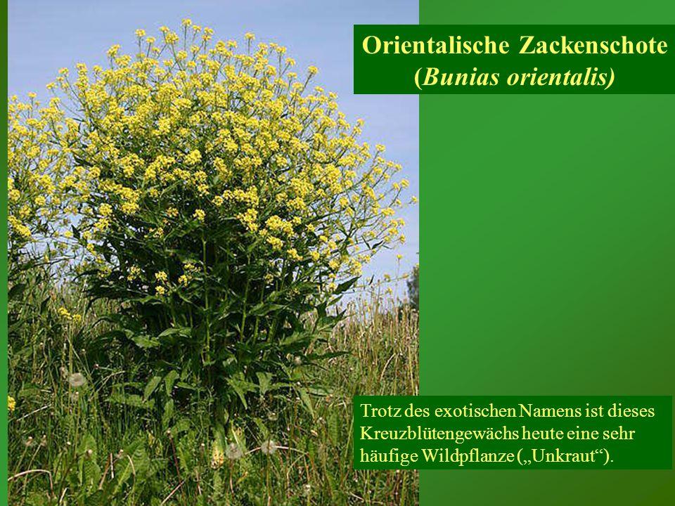 Kornblume (Centaurea cyanus)