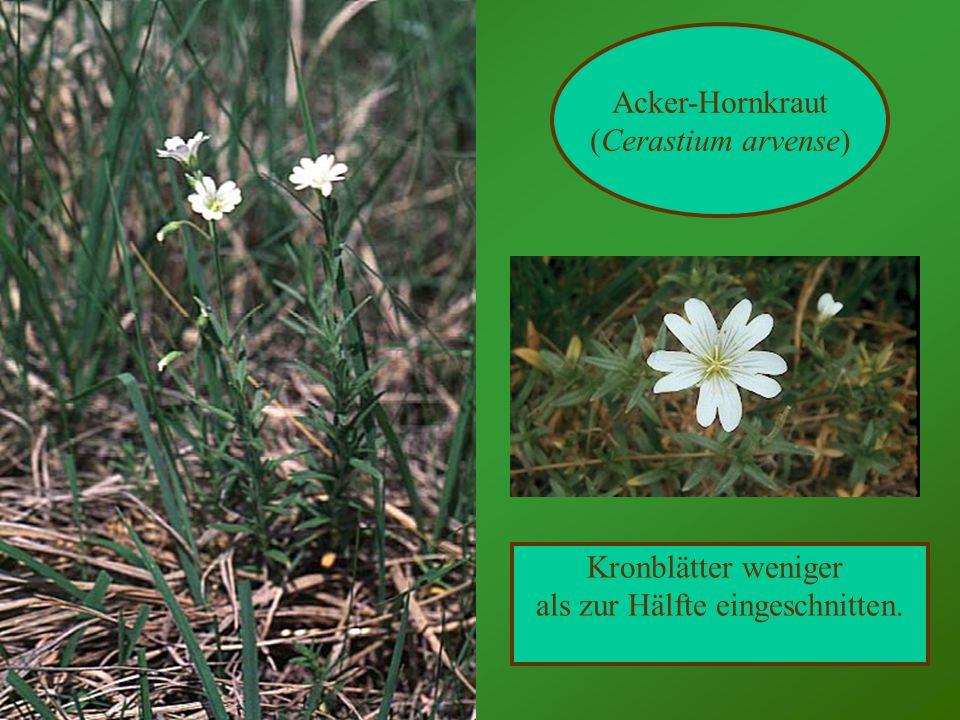 Acker-Hornkraut (Cerastium arvense) Kronblätter weniger als zur Hälfte eingeschnitten.