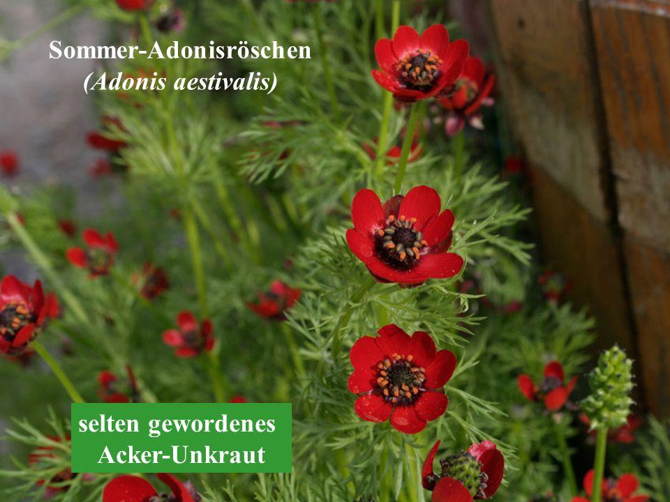 Sommer-Adonisröschen (Adonis aestivalis) selten gewordenes Acker-Unkraut