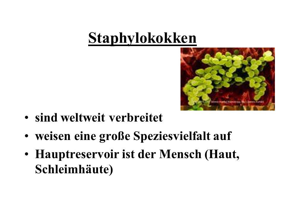 Staphylokokken sind weltweit verbreitet weisen eine große Speziesvielfalt auf Hauptreservoir ist der Mensch (Haut, Schleimhäute)