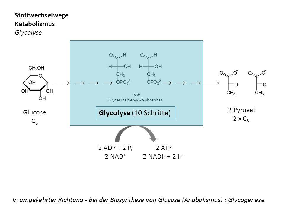 Glucose C 6 GAP Glycerinaldehyd-3-phosphat 2 Pyruvat 2 x C 3 Glycolyse (10 Schritte) 2 ADP + 2 P i 2 NAD + 2 ATP 2 NADH + 2 H + Stoffwechselwege Katab