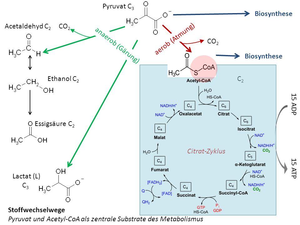 Acetaldehyd C 2 CO 2 Lactat (L) C 3 C 2 Ethanol C 2 Citrat-Zyklus Biosynthese Essigsäure C 2 aerob (Atmung) CO 2 Pyruvat C 3 anaerob (Gärung) Stoffwec