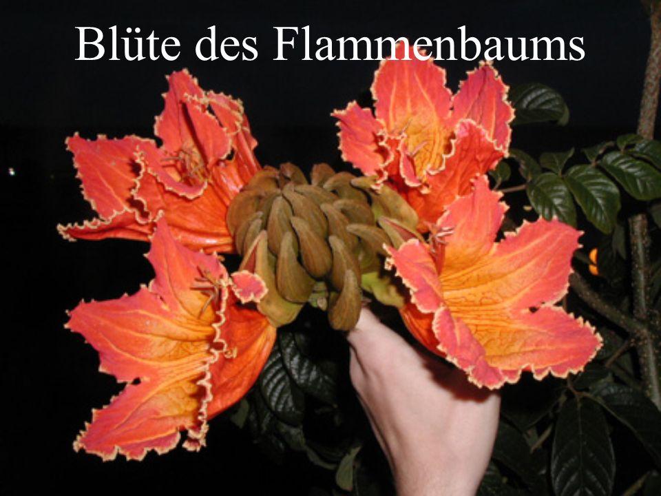Blüte des Flammenbaums
