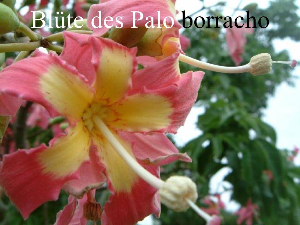 Blüte des Palo borracho