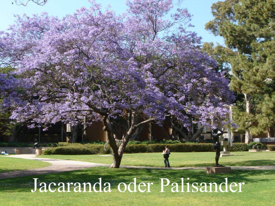Jacaranda oder Palisander
