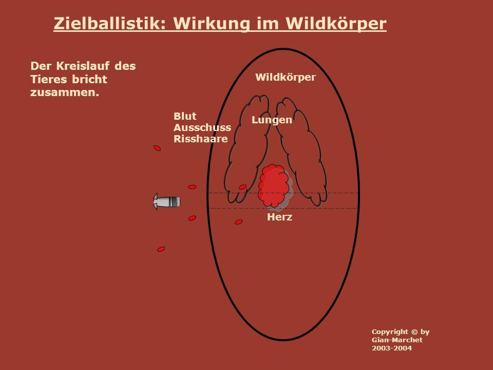 Wildkörper Lungen Herz Blut Ausschuss Risshaare Zielballistik: Wirkung im Wildkörper Der Kreislauf des Tieres bricht zusammen. Copyright © by Gian-Mar