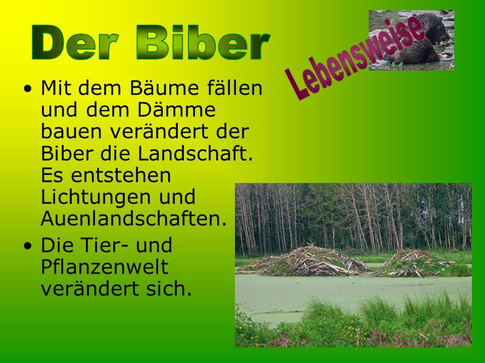 Mit dem Bäume fällen und dem Dämme bauen verändert der Biber die Landschaft. Es entstehen Lichtungen und Auenlandschaften. Die Tier- und Pflanzenwelt