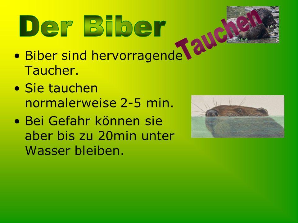 Biber sind hervorragende Taucher. Sie tauchen normalerweise 2-5 min. Bei Gefahr können sie aber bis zu 20min unter Wasser bleiben.