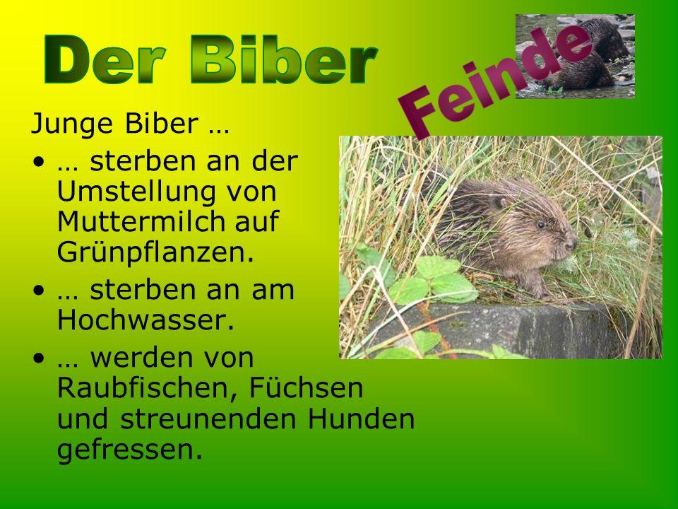 Junge Biber … … sterben an der Umstellung von Muttermilch auf Grünpflanzen. … sterben an am Hochwasser. … werden von Raubfischen, Füchsen und streunen