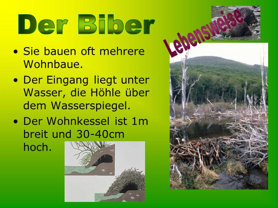 Der Biber baut Dämme, um den Wasserstand der Flüsse zu regulieren.