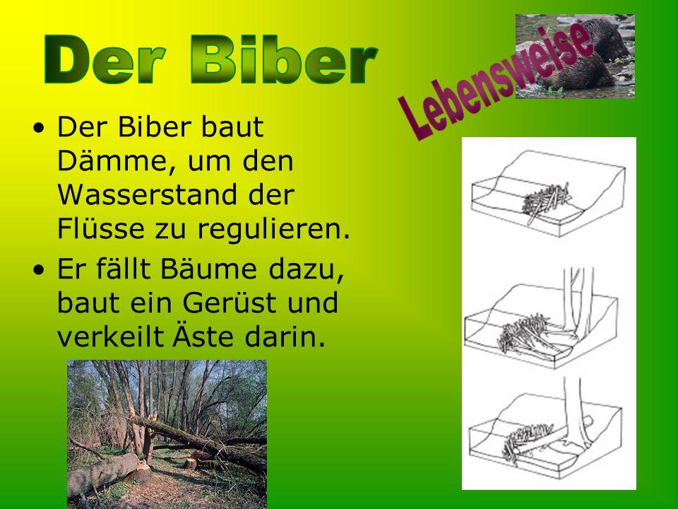 Der Biber baut Dämme, um den Wasserstand der Flüsse zu regulieren. Er fällt Bäume dazu, baut ein Gerüst und verkeilt Äste darin.