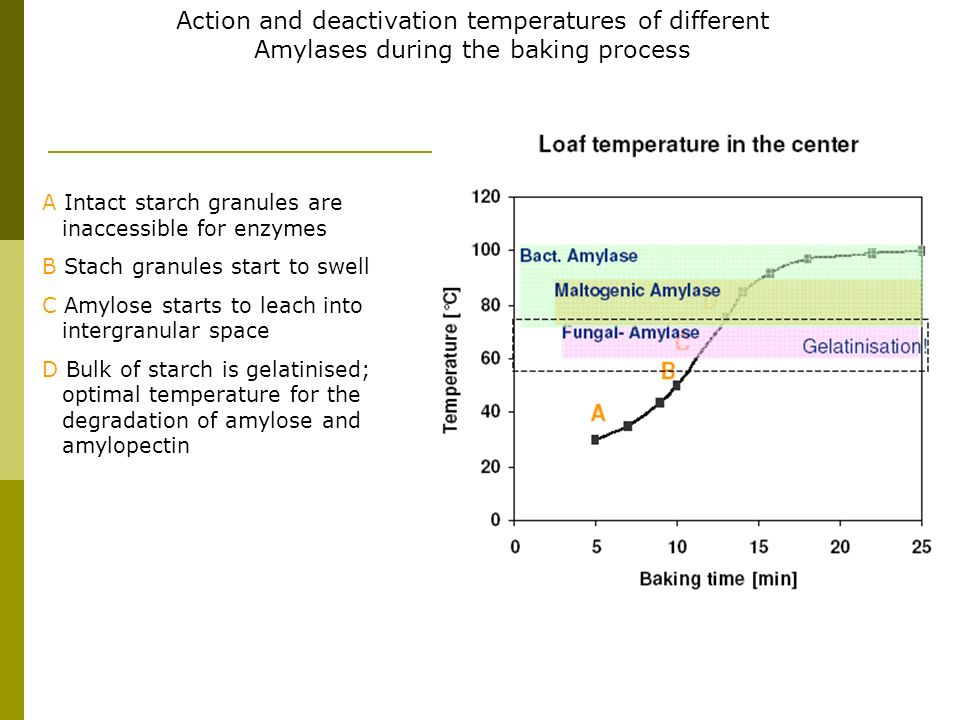 Action and deactivation temperatures of different Amylases during the baking process A Intact starch granules are inaccessible for enzymes B Stach gra