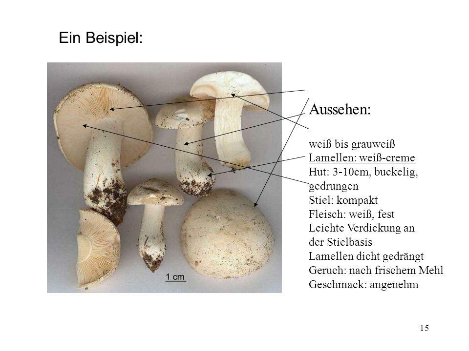 15 Ein Beispiel: Aussehen: weiß bis grauweiß Lamellen: weiß-creme Hut: 3-10cm, buckelig, gedrungen Stiel: kompakt Fleisch: weiß, fest Leichte Verdicku