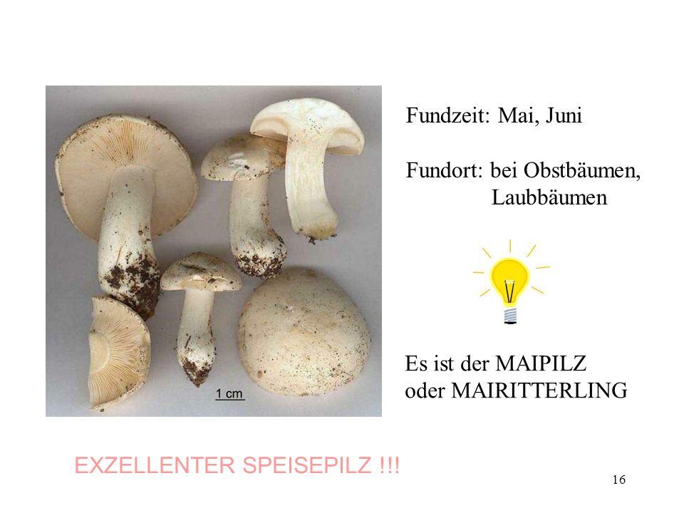 16 Fundzeit: Mai, Juni Fundort: bei Obstbäumen, Laubbäumen Es ist der MAIPILZ oder MAIRITTERLING EXZELLENTER SPEISEPILZ !!!