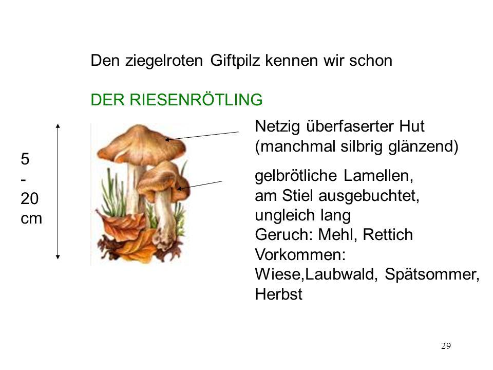 29 Den ziegelroten Giftpilz kennen wir schon DER RIESENRÖTLING 5 - 20 cm Netzig überfaserter Hut (manchmal silbrig glänzend) gelbrötliche Lamellen, am