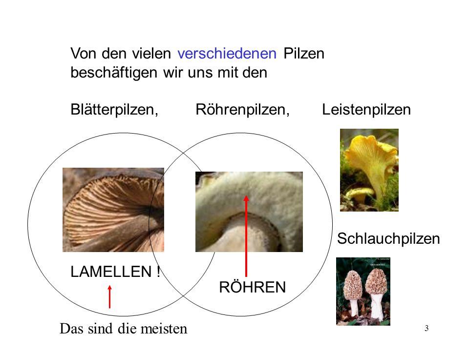 3 Von den vielen verschiedenen Pilzen beschäftigen wir uns mit den Blätterpilzen, Röhrenpilzen, Leistenpilzen Das sind die meisten LAMELLEN ! Schlauch