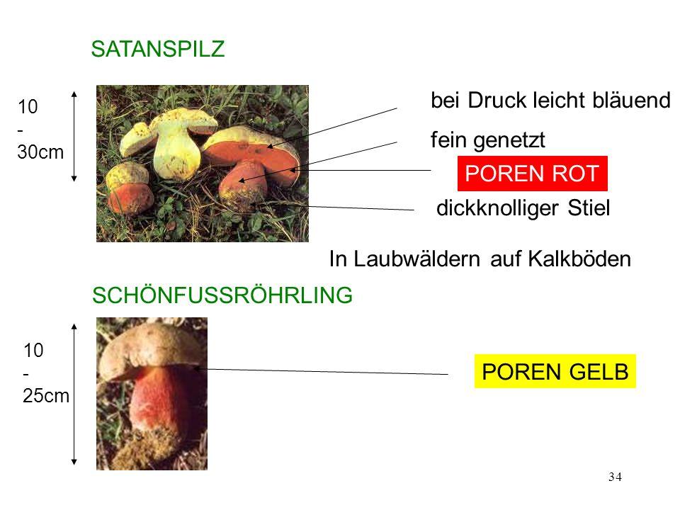 34 SATANSPILZ 10 - 30cm dickknolliger Stiel fein genetzt bei Druck leicht bläuend In Laubwäldern auf Kalkböden SCHÖNFUSSRÖHRLING POREN ROT POREN GELB
