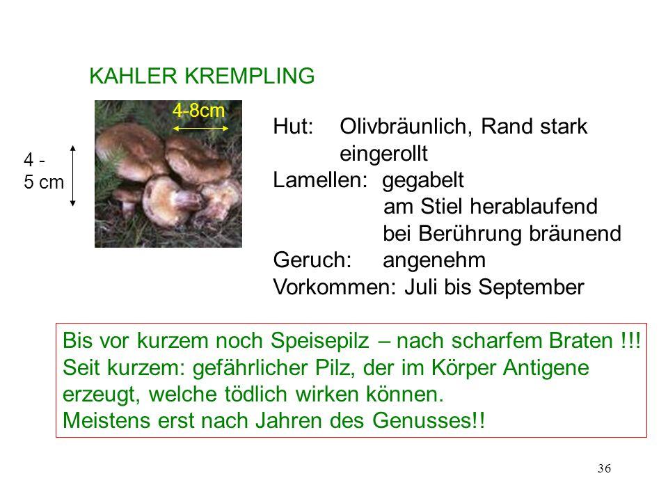 36 KAHLER KREMPLING 4-8cm 4 - 5 cm Hut: Olivbräunlich, Rand stark eingerollt Lamellen: gegabelt am Stiel herablaufend bei Berührung bräunend Geruch: a