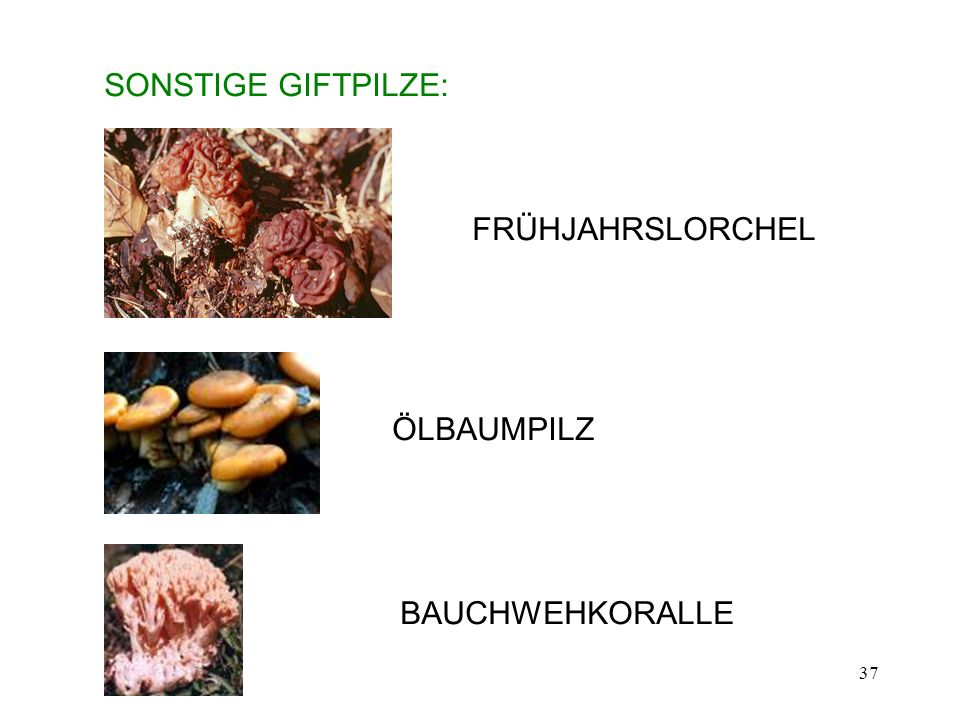 37 SONSTIGE GIFTPILZE: FRÜHJAHRSLORCHEL ÖLBAUMPILZ BAUCHWEHKORALLE