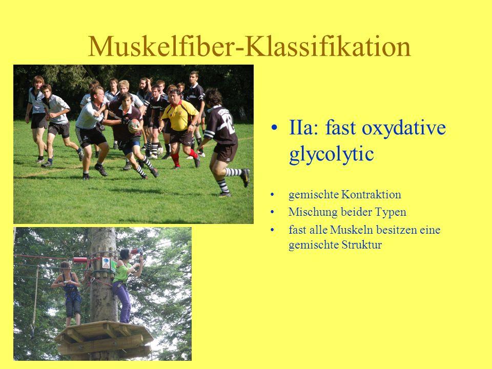 Muskelfiber-Klassifikation IIa: fast oxydative glycolytic gemischte Kontraktion Mischung beider Typen fast alle Muskeln besitzen eine gemischte Strukt