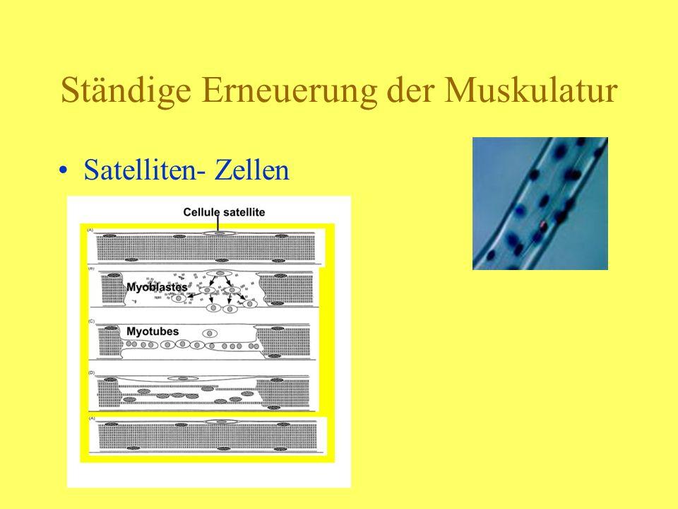 Ständige Erneuerung der Muskulatur Satelliten- Zellen