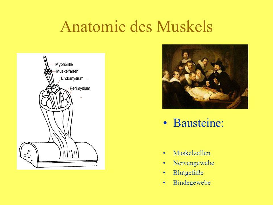 Anatomie des Muskels Bausteine: Muskelzellen Nervengewebe Blutgefäße Bindegewebe