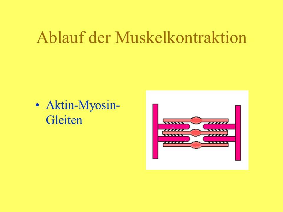 Ablauf der Muskelkontraktion Aktin-Myosin- Gleiten