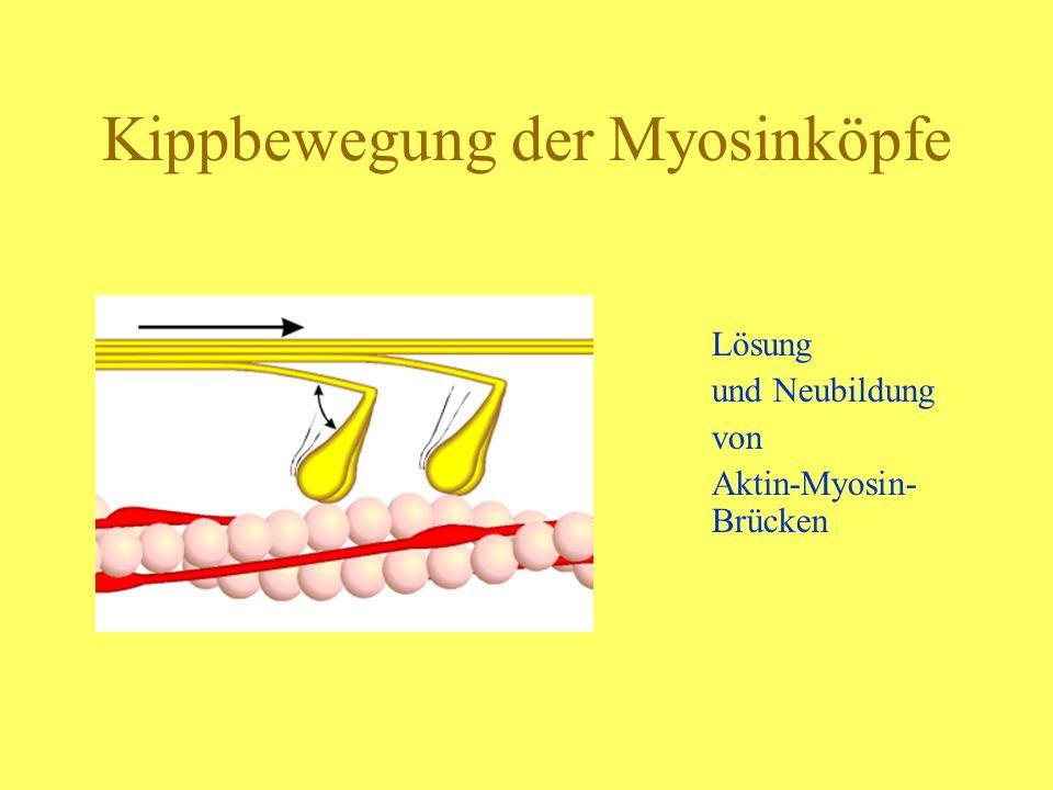 Elektromechanische Koppelung Nervenreiz Depolarisation Ausbreitung der Depolarisation ( T-System) Freisetzung von Kalzium (sarkoplasmatisches Retikulum) Bindung des Kalziums und Bewegung der Myosin- Köpfe