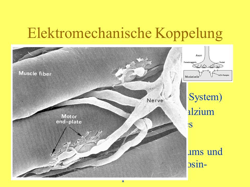 Energie und Muskelkontraktion Ständige Spaltung die freigesetzte Energie wird zur Bildung der Aktin-Myosin-Brücke gebraucht und Regenerierung von ATP ATP + H2O -> ADP + P+ Energie ADP + H2O -> AMP + P +Energie ADP + P -> ATP