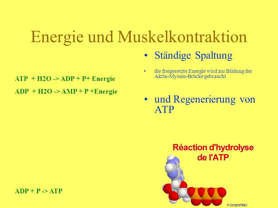 Energie und Muskelkontraktion Ständige Spaltung die freigesetzte Energie wird zur Bildung der Aktin-Myosin-Brücke gebraucht und Regenerierung von ATP