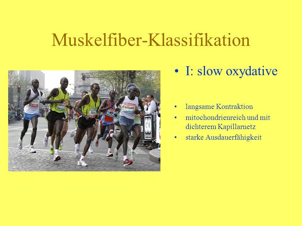 Muskelfiber-Klassifikation IIa: fast oxydative glycolytic gemischte Kontraktion Mischung beider Typen fast alle Muskeln besitzen eine gemischte Struktur