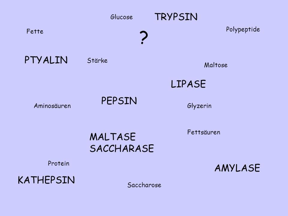 PTYALIN AMYLASE MALTASE SACCHARASE PEPSIN TRYPSIN KATHEPSIN LIPASE Fette Protein Stärke Aminosäuren Polypeptide Fettsäuren Saccharose Glucose Maltose