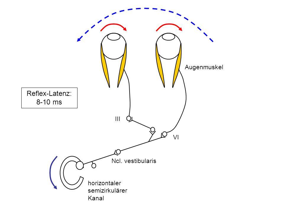 horizontaler semizirkulärer Kanal Ncl. vestibularis VI III Augenmuskel Reflex-Latenz: 8-10 ms