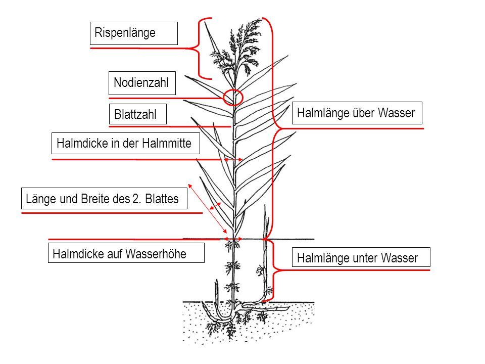 Rispenlänge Nodienzahl Halmlänge über Wasser Länge und Breite des 2.